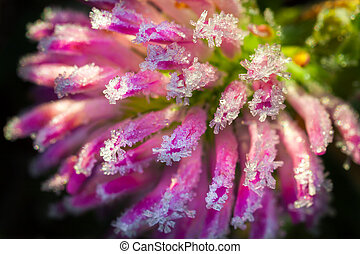 pink flower of a clover is covered with hoarfrost  macro