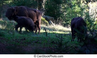 european bison in forest
