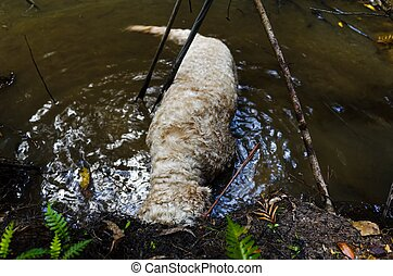 Dog digging in water - Dog with muddy face digging in the...