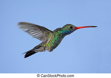 Broad-billed Hummingbird Cynanthus latirostris - Male...