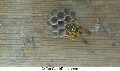 Wasp tends to Eggs - Yellow Jacket Wasp tends to Eggs in...