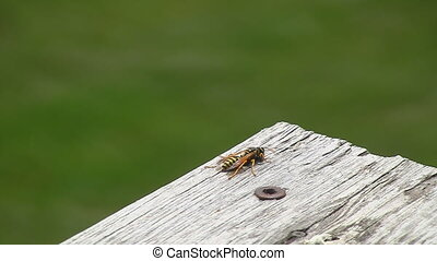 Wasp turns flies away - Yellow Jacket Wasp turns around and...