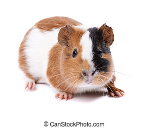 guinea pig on a white background - spotted guinea pig on a...