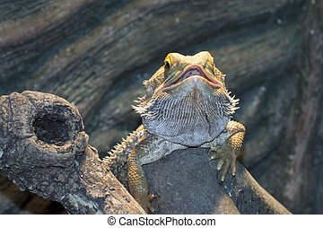 Inland bearded Dragons (Pogona vitticeps) - Central bearded...