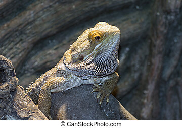 Inland bearded Dragons Pogona vitticeps - Central bearded...