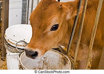 Jersey Calf - Cute Jersey calf in barn stall.
