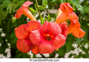 images et photos de orange trompette vigne fleurs 127 images et photographies libres de droits. Black Bedroom Furniture Sets. Home Design Ideas