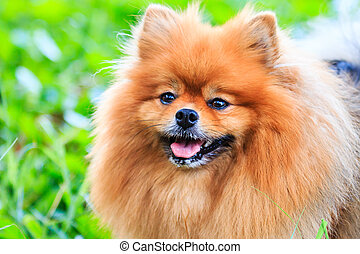 Close up of Pomeranian dog on green grass
