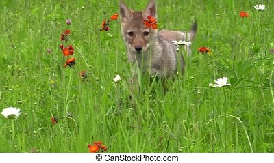 Baby coyote runs in a field of flowers, stops, cocks his...