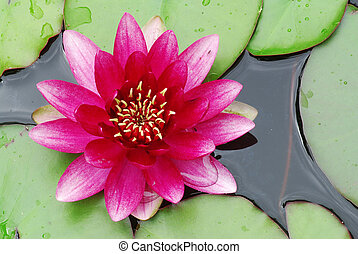 Pink water lily - Beautiful blooming pink water lily detail...