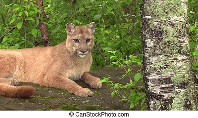 Cougar in the woods - Hot, panting cougar on a cool rock in...