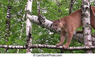 Cougar jumps off a tree - Beautiful cougar jumps to the...