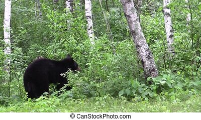 Bear stands in the woods - Black bear stands in the woods...