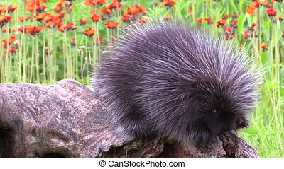 Baby porcupine in a field of flower - Baby porcupine on a...