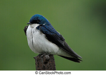 Tree Swallow, Tachycineta bicolor, perched