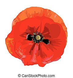 Poppy red - Drawing a single red poppy
