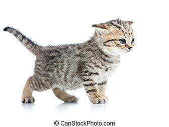 kitten cat isolated on white