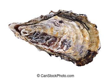 Fresh raw oyster - Single fresh raw oyster on white...
