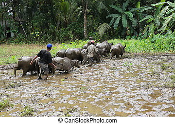 Water buffalo Sri Lanka - domestic Asian water buffalo,...