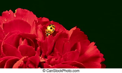 Ladybug on Red Carnation - A single ladybug explores a red...