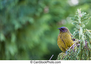 Popular New Zealand bird in nature forest