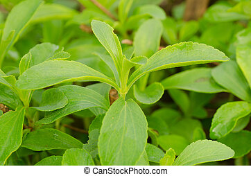 stevia, árbol