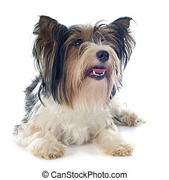biewer yorkshire terrier in front of white background