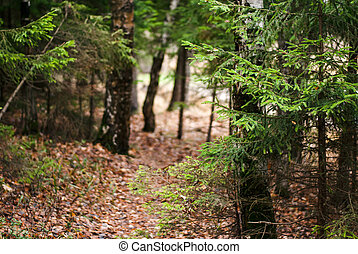 The beaten path in a pine forest - The beaten path in a pine...