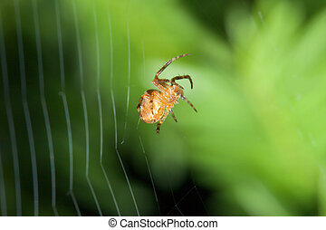 Female Cobweb Spider working on her web.