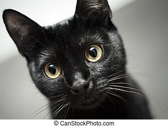 Balck cat, yellow eyes - Black cat with yellow eyes staring...