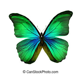 Morpho green turquoise butterfly , isolated on white