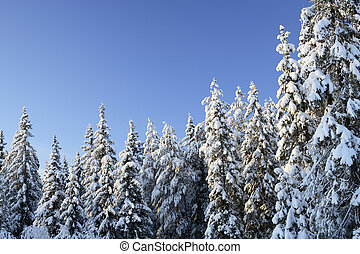 Spruces - Arctic snowy spruce forest in winter