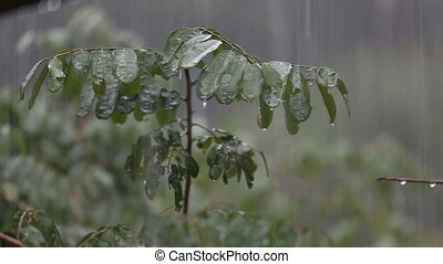 tropical rain in jungle - strong tropical rain fall on trees...