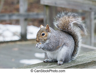 Grey Squirrel - A grey squirrel perched on a fence with bird...