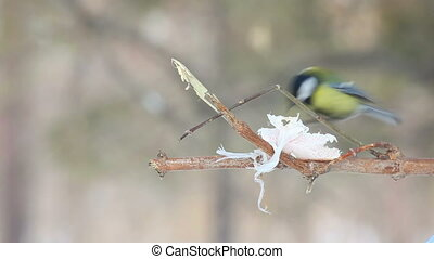 Titmouse eating lard at the tree