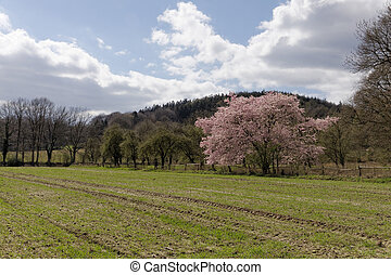 Japanese cherry tree in spring, with Teutoburg forest in the...