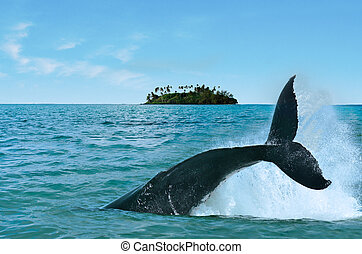 Whale Watching in Rarotonga Cook Islands - The tail of a...