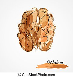 Walnut - Hand drawn vector ripe walnut on light background