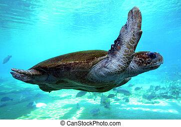 Green sea turtle Queensland Australia - GOLD COAST, AUS -...