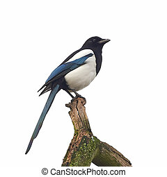 Eurasian Magpie (Pica pica) - Eurasian Magpie resting on a...