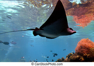 Eagle-ray - GOLD COAST, AUS - NOV 06 2014:Eagle-ray in Sea...