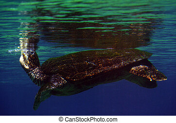 Green sea turtle Queensland Australia - GOLD COAST, AUS -...