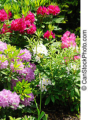 Rhododendron - Beautiful garden with rhododendron - fresh...