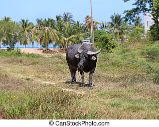 black buffalo - Black buffalo grazing in a field in Thailand...