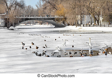 Birds swim in a pond in winter city park