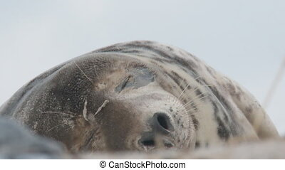 Grey seal Helgoland Germany