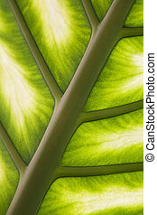 Palm leaf in back light - Closeup of a palm leaf in back...