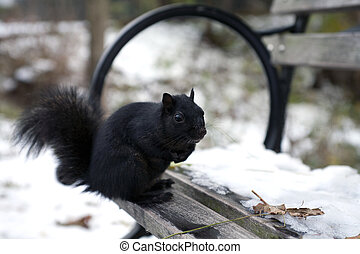 Black Squirrel - A black squirrel from the family Sciuridae
