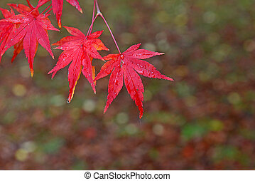 Japanese maples with autumn colors