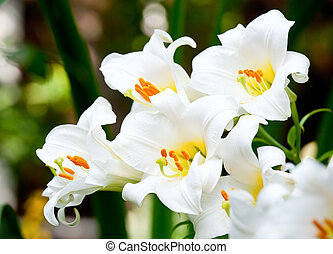 White lilies - White Easter Lily flowers in a garden,...